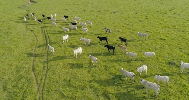 ブラジルの緑の牧草地の群れネロールcattelの航空写真