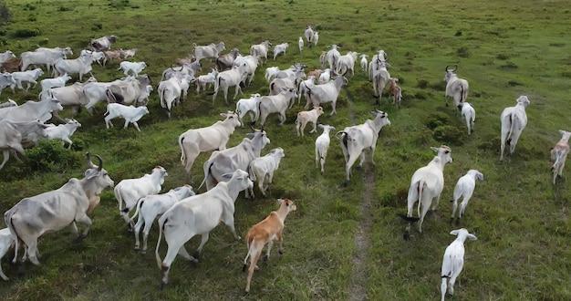 ブラジルの緑の牧草地の群れネロールcattelの航空写真。