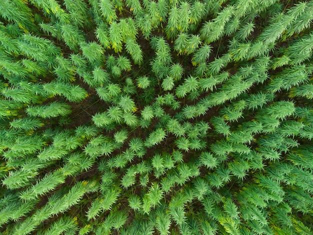 일몰 시 대형 대마초 마리화나 밭의 공중 전망