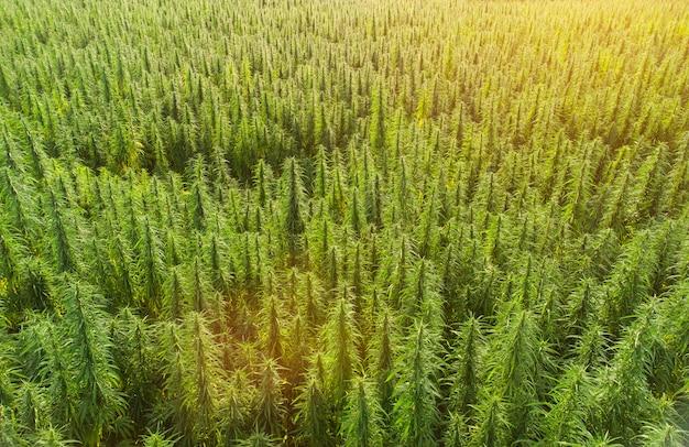 일몰 시 대형 대마초 의료용 마리화나 밭의 공중 전망