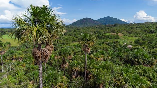 아마존 열대우림 한가운데에 있는 토종 부리티 야자수의 공중 전망. buritizal.