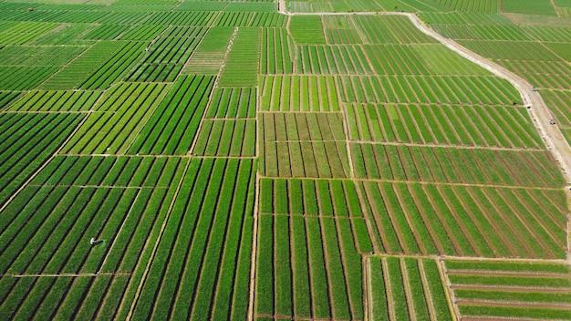 양파 밭의 조감도. 매우 아름답게 보인다