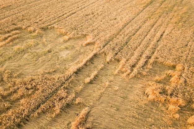Вид с воздуха на спелое поле фермы, готовое к уборке с упавшими, разбитыми ветром головами пшеницы.