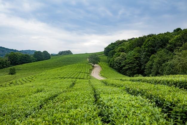 Вид с воздуха на чайную плантацию