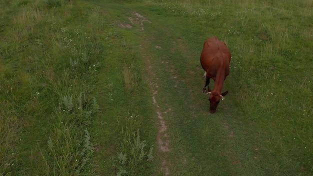 牛の群れと戸外の緑の牧草地の無人機での牛の群れの航空写真