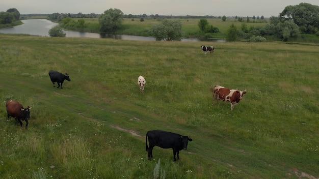 川の近くの緑の牧草地で牛の群れの空撮