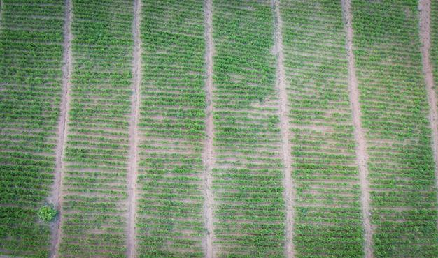 Вид с воздуха на вспаханное поле, зеленая природа, сельскохозяйственная ферма, фон, вид сверху имбирного дерева сверху, посевов в зеленом цвете, ферма имбирных растений с высоты птичьего полета и сбор корня имбиря на горе