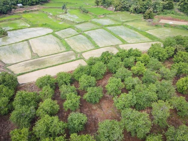 タマリンドの緑の野原自然農業農場の背景の空中写真、緑の作物の上からアジアのタマリンドの木と緑の水田の上面図、鳥の目ビューツリー