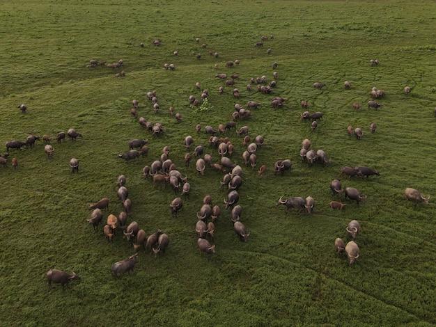 牧草地に集中している水牛の空中写真