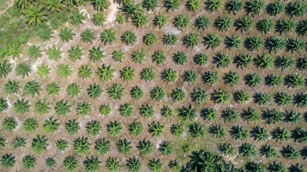 Aerial view palm tree