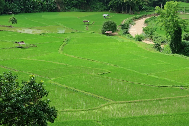 Aerial view of the picturesque vibrant green paddy field in nan province, northern thailand