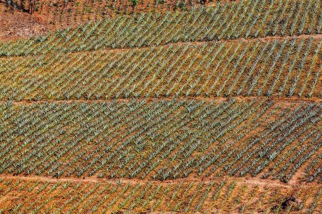 Aerial view pine apple plantation.