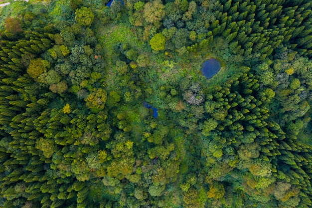 Aerial view of pine forest in summer