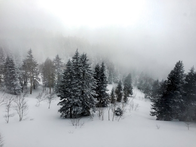 Aerial view of pine trees covered with snow, landscape in winter