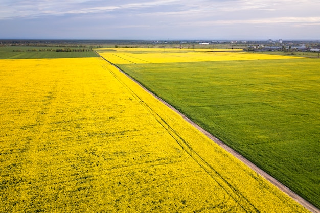 Aerial view of straight ground road in green and yellow fields with blooming rapeseed plants on sunny spring or summer day. drone photography.