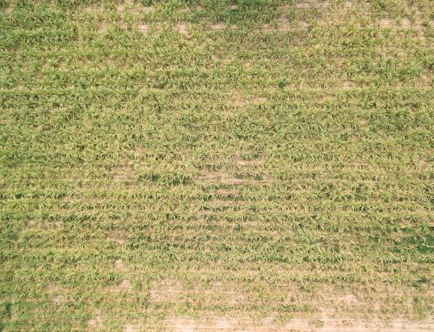 Aerial view of sugar cane