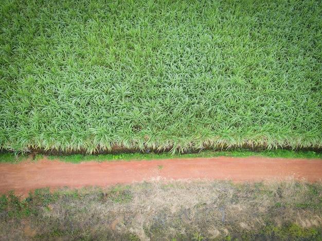 공중 전망 사탕수수 밭 자연 식물 농업 농장 배경, 위에서 내려다본 사탕수수 밭, 녹색 작물의 농업 소포