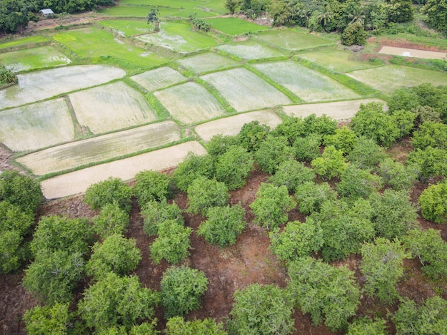Aerial view of the tamarind green fields nature agricultural farm  background, top view tamarind tree and green rice fields asian from above of crops in green, birds eye view tree