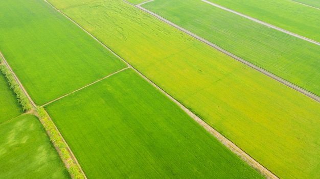 Aerial view of the yellow and green rice fields