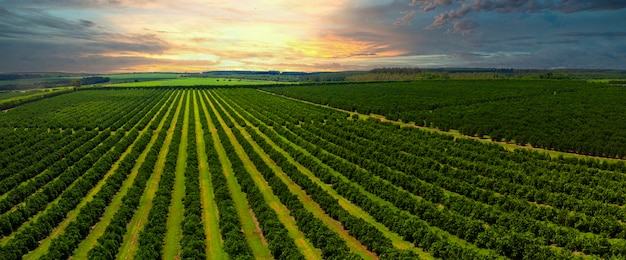 Aerial views over top of rows of orange trees in plantation in sunset.