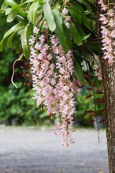 Цветок орхидеи dendrobium puchellum крупным планом на природе красивые белые орхидеи в ботаническом саду