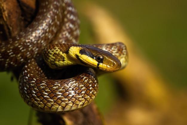 Aesculapian snake climbing on tree in summer sunlight