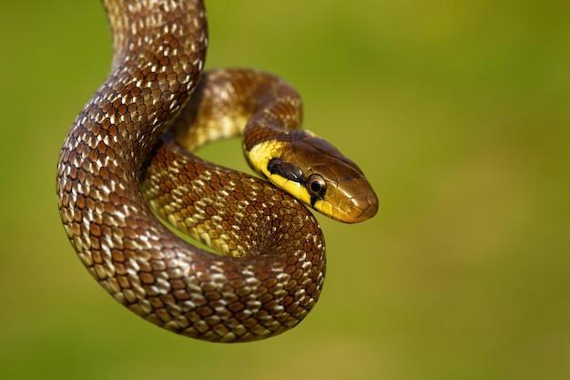 Эскулапская змея, висящая в зеленой летней среде