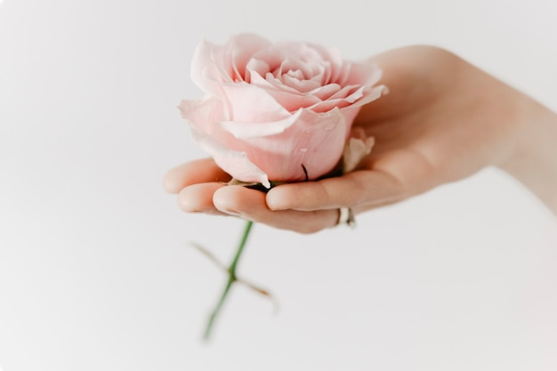 Эстетическая розовая роза в женской руке ароматерапевтическая кампания