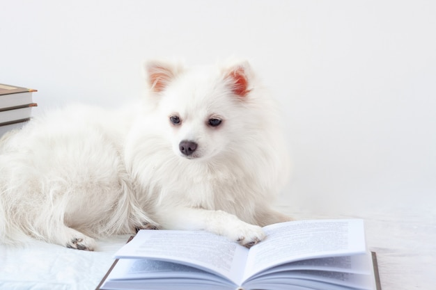 An aesthetically beautiful white little pomeranian dog lies near an open book. the concept of learning, school, reading, literature