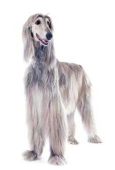 Afghan dog