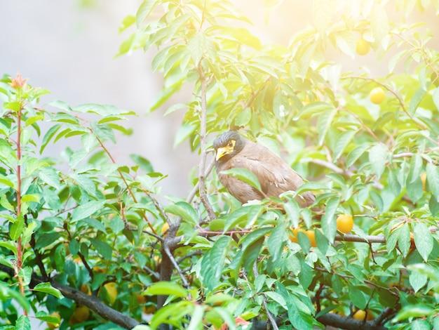 Afghan thrush sitting on a branch