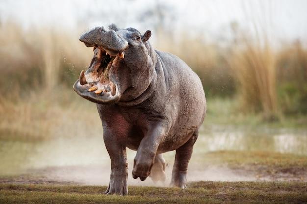 Африка бегемот амфибиус