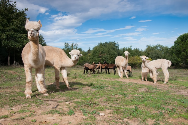 African alpaca camelid kamerun-schafe chocolare vicugna pacos