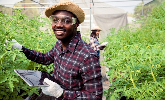 新鮮な若いトマト植物をチェックするためにタブレットを使用して若い女の子とアフリカ系アメリカ人の農家