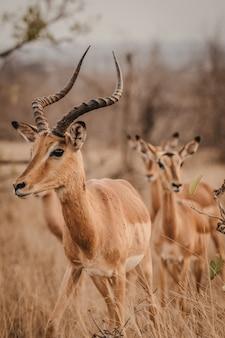African antelope in a safari park
