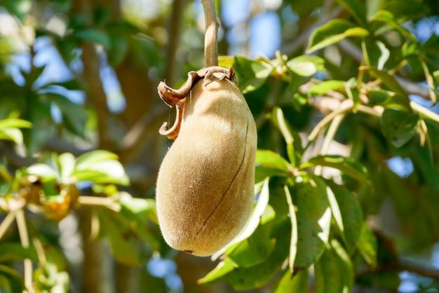 African baobab fruit or monkey bread