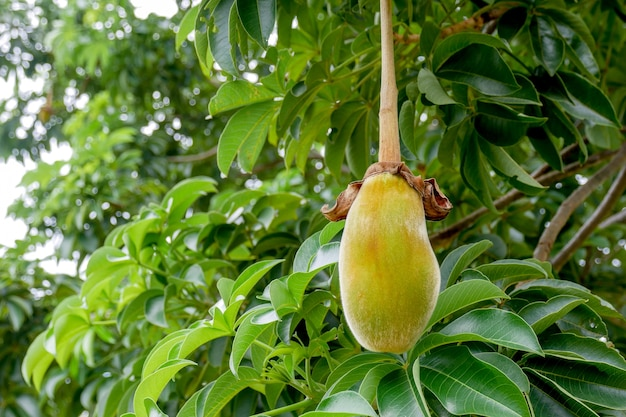 Африканский плод баобаба или хлеб обезьяны