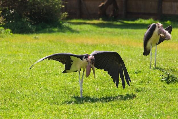 Африканские птицы аист марабу в летнее время