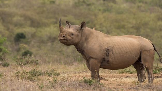 Африканский черный носорог
