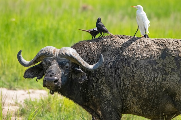 牧草地のアフリカスイギュウ鳥はその背中に座っています、マーチソンフォールズ国立公園ウガンダアフリカ