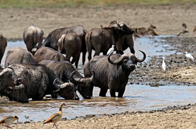 アフリカのサバンナの自然の生息地にいるアフリカスイギュウ