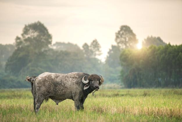An african buffalo