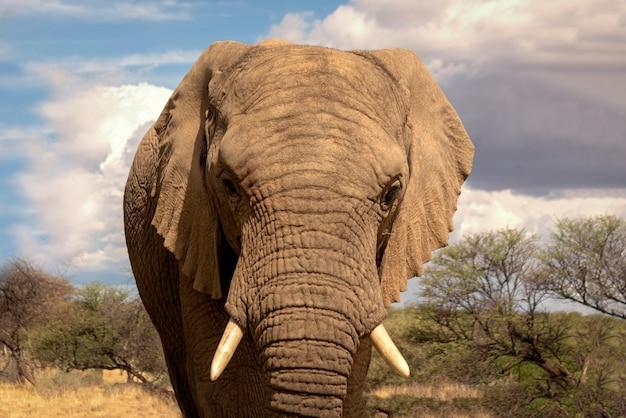 Африканский слон-кустарник на лугах национального парка этоша, намибия. африке