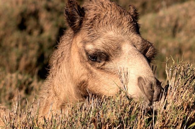 Африканский верблюд в пустыне намиб. смешно крупным планом. намибия, африка