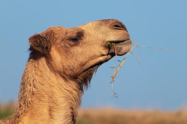 ナミブ砂漠のアフリカのラクダ。面白いクローズアップ。ナミビア、アフリカ
