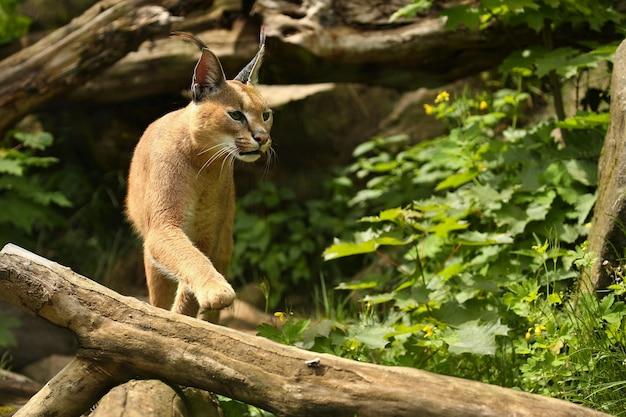 自然の生息地でアフリカのカラカル猫