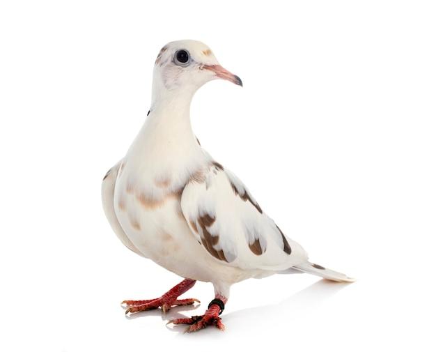 白い背景の前にアフリカの襟付き鳩