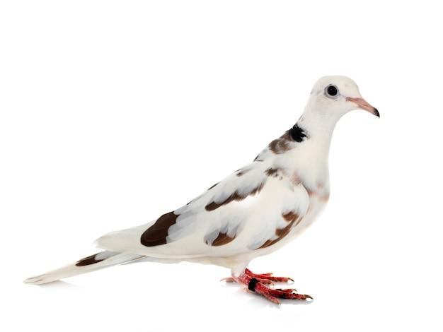 孤立した白い前にアフリカの襟付き鳩