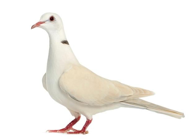 Африканский голубь с воротником, изолированные на белом фоне