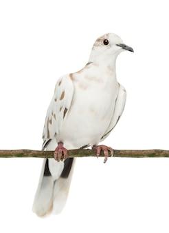 白いスペースに対して、枝、streptopeliaroseogriseaにとまるアフリカの襟付き鳩